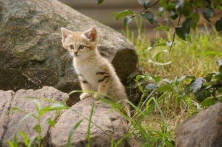 Ушастый котенок