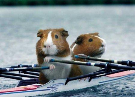 Морские свинки и Сочи-2014