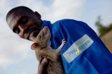 Профессиональные крысы-сапёры