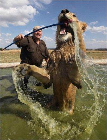 Купание льва