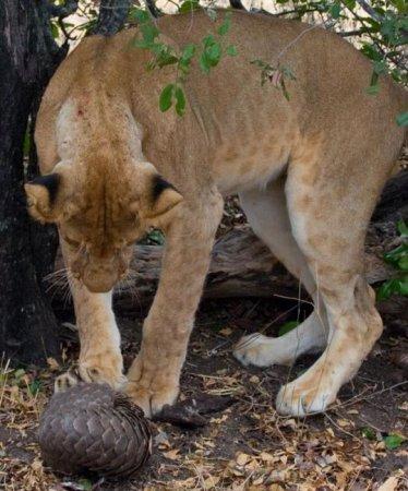 В пасти у льва