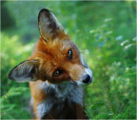Прикольные лисы
