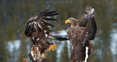 Битва орлов