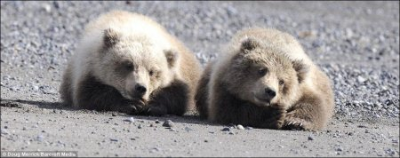 Медвежата из национального парка Аляски