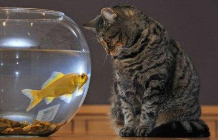 Кот и золотая рыбка