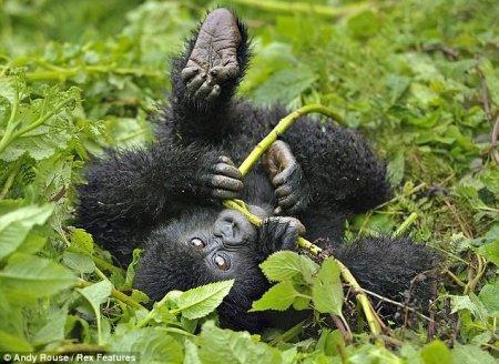 Пушистые гориллы