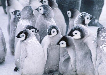 Обои с пингвинами