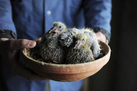 Почтовые голуби из Голандии