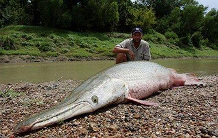 Рыба-крокодил или панцирная щука