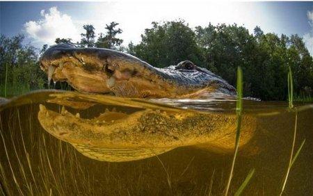 Американский аллигатор крупным планом