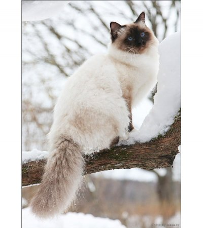 Очаровательный кот с голубыми глазами