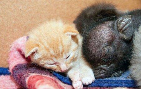 Поросенок признал в кошке вторую маму