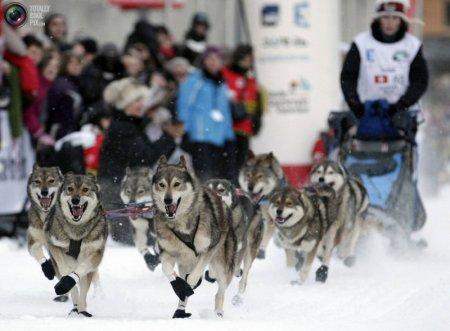 Гонки на собачьих упряжках в Ла Гранде Одиссе