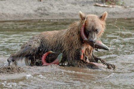 Дикие медведи в России