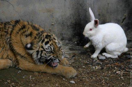 Эксперимент: тигр и кролик