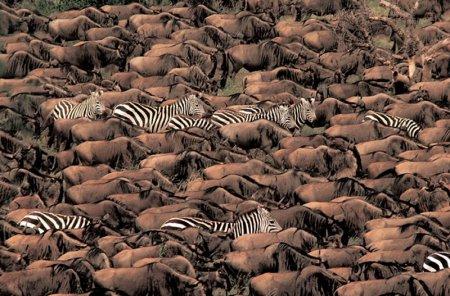 National Geographic о великих миграциях