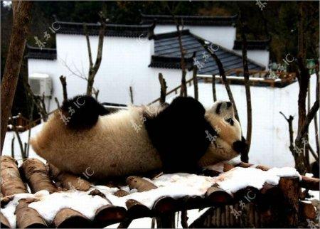 Панда играет в вольере зоопарка