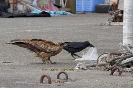 Смелая ворона