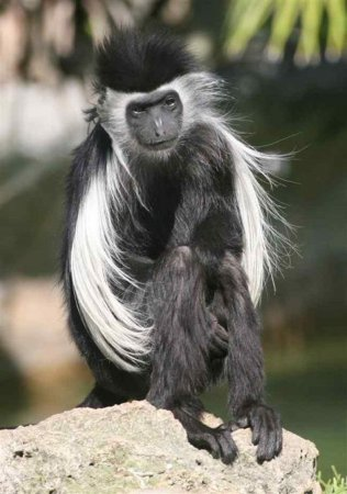 Черно-белые обезьяны - гверецы