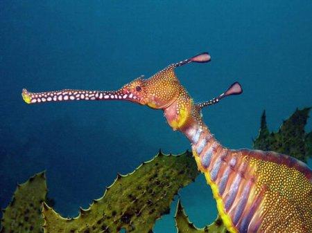 Лиственные морские драконы