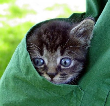 карманные кошки