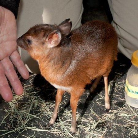 Фото детеныша королевской антилопы