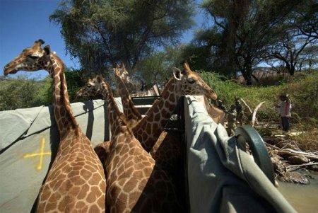 Как перевозят жирафов