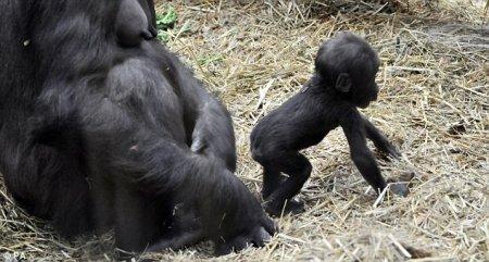 Трехмесячный детеныш гориллы (Лондон, 2011)