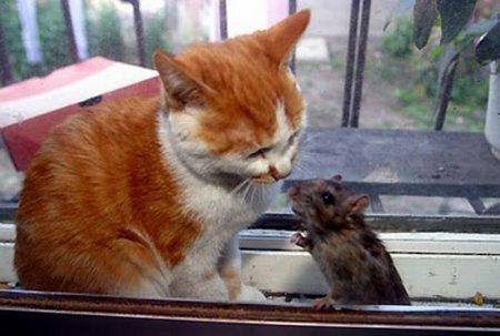 Дружба кошки и крысы