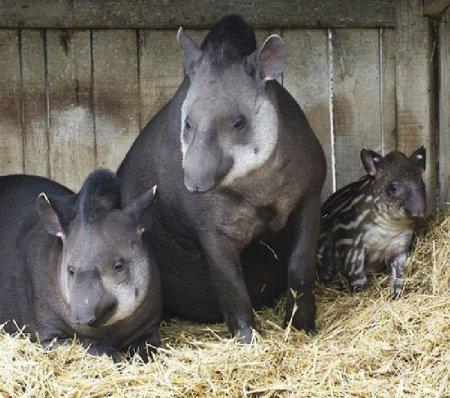 Новорожденный тапир