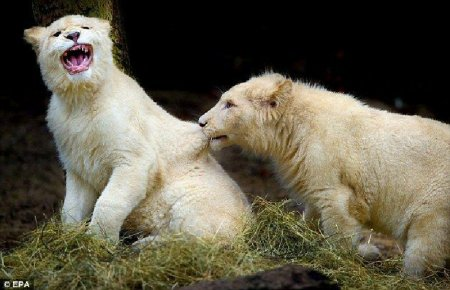 Семейство львов альбиносов