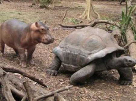 Неразлучные бегемот и черепаха