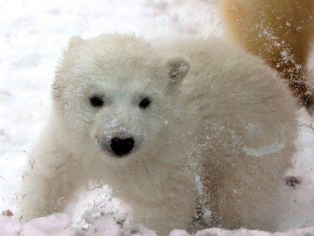 В зоопарке Дании родился белый медвежонок