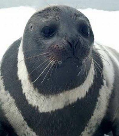 Полосатые тюлени