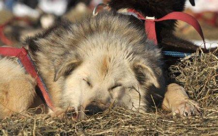 На  Аляске стартовала гонка на собачьих упряжках
