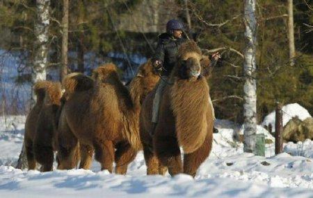 Теплолюбивые верблюды в снежной Норвегии