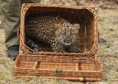 Трехмесячного леопарда представили прессе