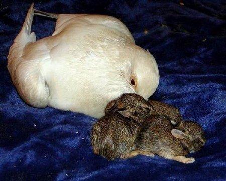 Голубь усыновил кроликов