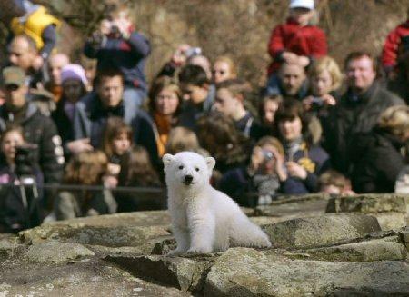 В берлинском  зоопарке умер знаменитый белый медведь Кнут