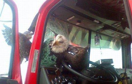 Орел врезался в лобовое стекло автомобиля