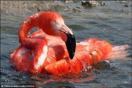 Забавный случай с фламинго