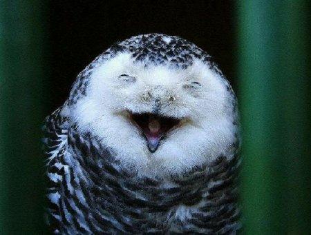 Совы любят посмеяться