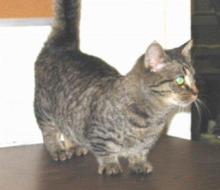 Манчкин - коты с короткими лапами