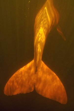Речные дельфины в Амазонке