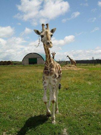 Маленькие детеныши жирафов