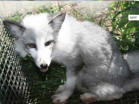 Выведение и приручение диких лисиц