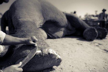 Педикюр для слона