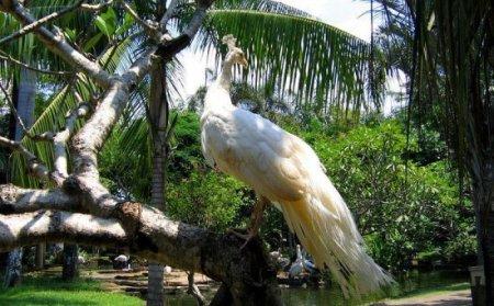 Павлин-альбинос