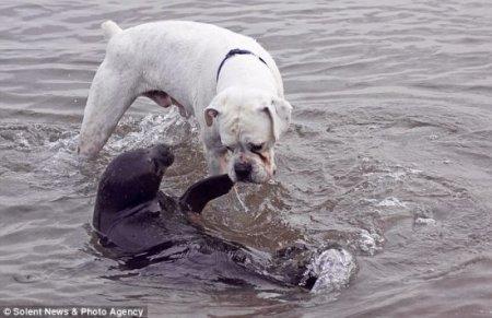 Внезапно: встреча собаки и тюленя