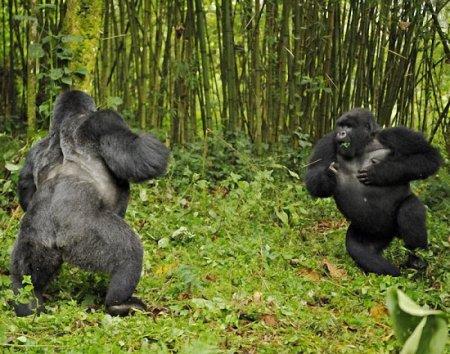 Из жизни горилл